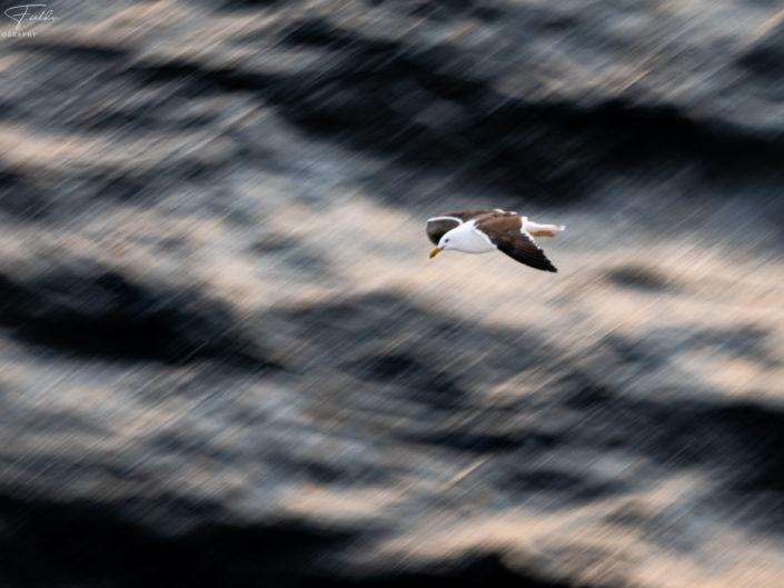 Yellow-legged gull, North Sea